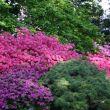 Rhododendron, télálló rhododendron 17. kerület